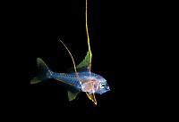 Alfonsino, Beryx sp., making an appearance in 50 feet during a Black Water drift dive in waters 600 feet deep, Palm Beach, Florida, U.S.A.   Atlantic Ocean
