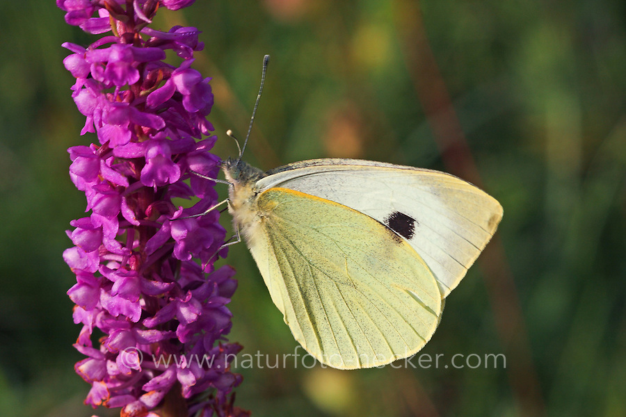 Großer Kohlweißling, Pieris brassicae, Grosser Kohlweissling, large white, Cabbage Butterfly, Cabbage White, Large Cabbage White, White cabbage butterfly