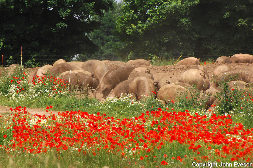Outdoor pigs feeding behind a field with poppies....Copyright..John Eveson, Dinkling Green Farm, Whitewell, Clitheroe, Lancashire. BB7 3BN.01995 61280. 07973 482705.j.r.eveson@btinternet.com.www.johneveson.com