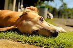 Gulfo Dulce Forest Preserve, CR.  Dog resting in grass.