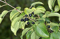 BUCKTHORN Rhamnus cathartica (Rhamnaceae) Height to 8m. Deciduous, thorny shrub or small tree. Found in woodland and scrub, mainly on calcareous soils. FLOWERS are 4-5mm across and greenish yellow; borne in clusters (May). FRUITS are berries that ripen black; borne in clusters. LEAVES are 3-6cm long, oval, finely toothed and opposite. STATUS-Locally common in E England only.