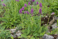 Heilziest, Echter Ziest, Heil-Ziest, Echte Betonie, Flohblume, Pfaffenblume, Zahnkraut, Zehrkraut, Betonica officinalis, Stachys officinalis, common hedgenettle, hedgenettle, betony, purple betony, wood betony, bishopwort, bishop's wort, L'Épiaire officinale, Bétoine officinale, Bétoine