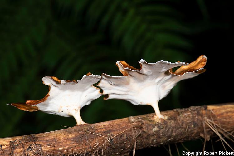 Bracket Fungi, Microporus Xanthopus, Sinharaja World Heritage Site, Sri Lanka, showing underside