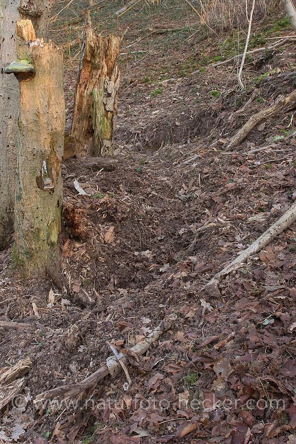 Wildschwein, Wild-Schwein, Schwarzwild hat Waldboden nach Fressbarem durchwühlt, Sus scrofa, Wild boar, Sanglier d´Europe
