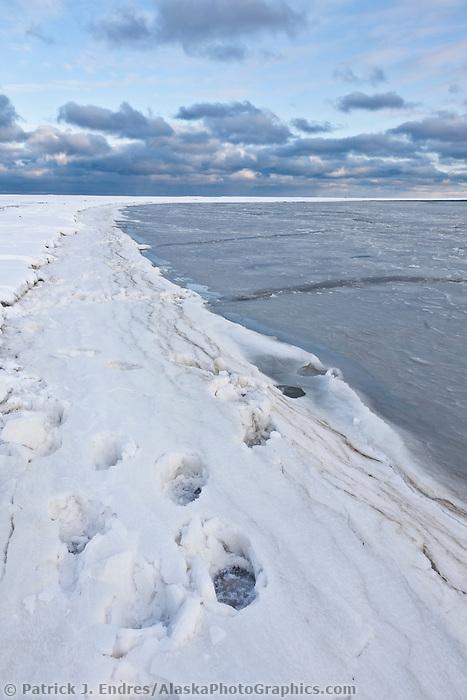 Polar bear tracks along the shore of the Beaufort Sea on Alaska's arctic coast.