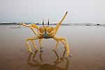 Namibia;  Namib Desert, Skeleton Coast, Northern Skeleton Coast National Park, ghost crab (Ocypode sp.)