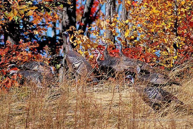 wild turkeys in autumn