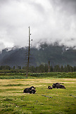 USA, Alaska, Girdwood, musk oxs grazing inside the Alaska Wildlife Conservation Center