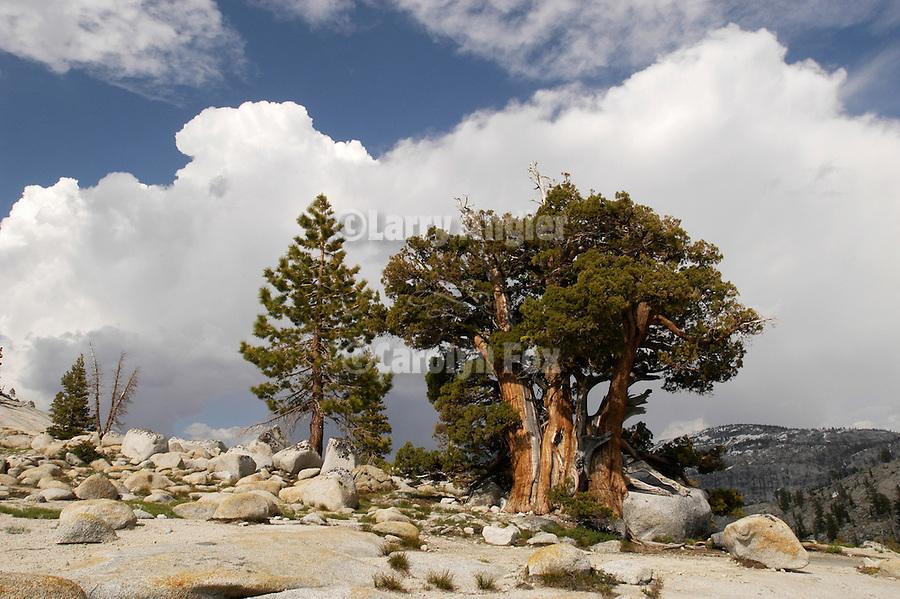 Juniper, clouds, Olmstead Point, Yosemite National park