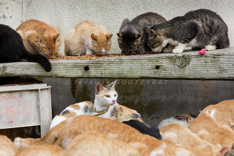 Aoshima, Ehime prefecture, September 4 2015 - Cats fighting for food. Every winter, many cats die due to the lack of food.<br /> Aoshima (Ao island) is one of the several &laquo; cat islands &raquo; in Japan. Due to the decreasing of its poluation, the island now host about 6 times more cats than residents.
