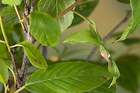 Zitronenfalter, Zitronen-Falter, Puppe, Gürtelpuppe gut getarnt, Gonepteryx rhamni, brimstone, brimstone butterfly, pupa, pupae, Le Citron