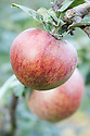 Apple 'Nancy Jackson', late September. An English culinary apple, probably from Yorkshire and dating back to at least 1875.