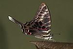 Graphium colonna Butterfly, side view of wings closed, swordtail, long tail, on leaf, forest.Africa....