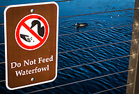 Good advice on a sign at a neighborhood park while an American Coot floats in the background.  Do Not Feed Waterfowl.