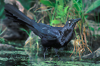 537929010 a great-tailed grackle quisicalus mexicanus bathes and drinks in a small pond in the rio grande valley in south texas