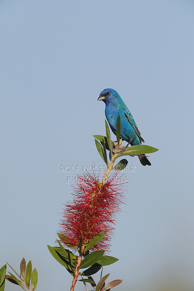 Indigo Bunting (Passerina cyanea), male on blooming Lemon Bottlebrush (Callistemon citrinus), Sinton, Corpus Christi, Coastal Bend, Texas Coast, USA