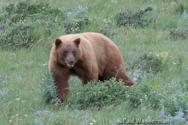 Grizzly Bear along the East end of Going to the Sun Road, Glacier National Park, Wyoming