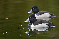 Ring-necked ducks are among the more striking residents at Reifel Bird Sanctuary in winter.