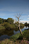 Skeleton of tree with branches reaching to the sky, river Ure, Boroughbridge, North Yorkshire, England, sep 2007.
