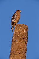 Red-shouldered Hawk, Buteo lineatus,adult on Palm Tree Stump, Sanibel Island, Florida, USA