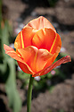 Tulip 'Apricot Star', late April.