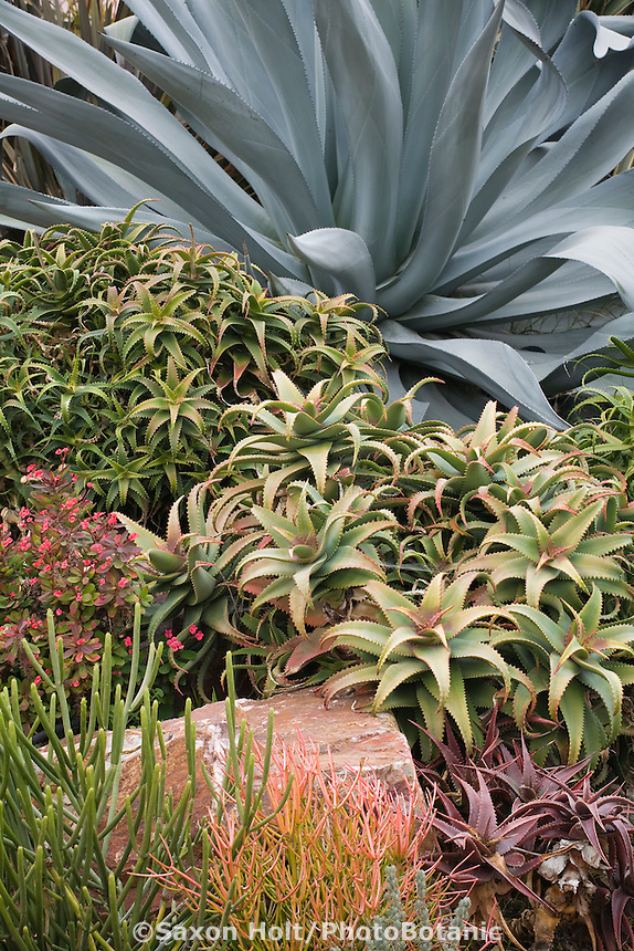 Drought tolerant tender succulent garden wiith Aloe and Agave in Jeff Moore Southern California garden