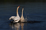 A Mute Swan pair celebrates their courtship.