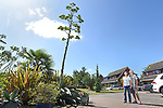 Pictured:  Rob and Julie Crook stood in their front garden with the giant agave spike.<br /> <br /> An exotic 'tequila plant' has suddenly rocketed to 25ft in height after mysteriously sprouting in a couple's front garden after two decades lying dormant.  The giant agave's stalk unexpectedly began shooting up 12 weeks ago and now towers over owners Rob and Julie Crook's two-storey home in a little cul-de-sac.<br /> <br /> The grandparents-of-two have been left stunned by the plant's 'Jack and the Beanstalk' type growth after planting it in 2005.  Mrs Crook was gifted a six-inch pup - an offspring of the parent plant - by a friend 20 years ago after her fascination with the asparagus-like shrub.<br /> <br /> But the 59-year-old said she never expected the agave to grow to such heights at the front of the couple's home in the small Hampshire village of Charlton.  SEE OUR COPY FOR DETAILS.<br /> <br /> © Simon Czapp/Solent News & Photo Agency<br /> UK +44 (0) 2380 458800