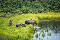 Cow moose with two calves (calf) in tundra kettle pond in Denali National Park, Alaska  Summer<br /> <br /> Photo by Jeff Schultz/SchultzPhoto.com  (C) 2018  ALL RIGHTS RESERVED<br /> <br /> Amazing Views-- Into the wild photo tour 2018