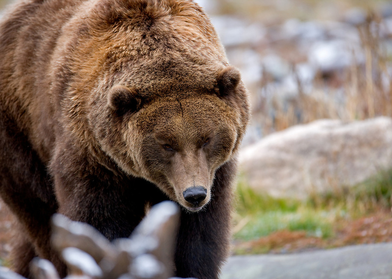 Grizzly bear at Grizzly and Wolf Center. West Yellowstone, Montana