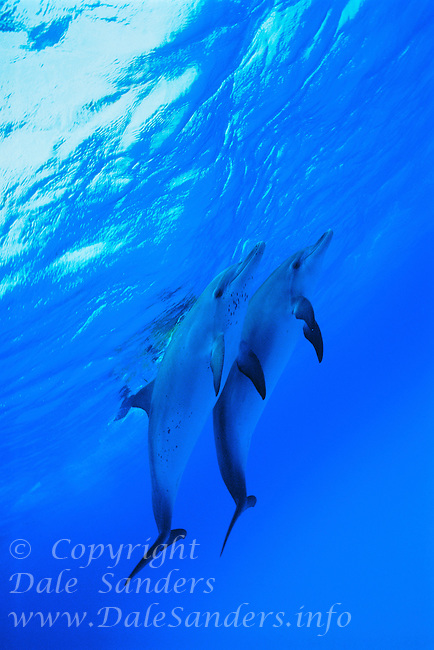 700-25927.© Dale Sanders.Spotted Dolphins.Little Bahama Banks.Bahamas