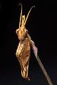 Violin Mantis female {Gongylus gongylodes}. Captive. Distribution: India & Sri Lanka. website