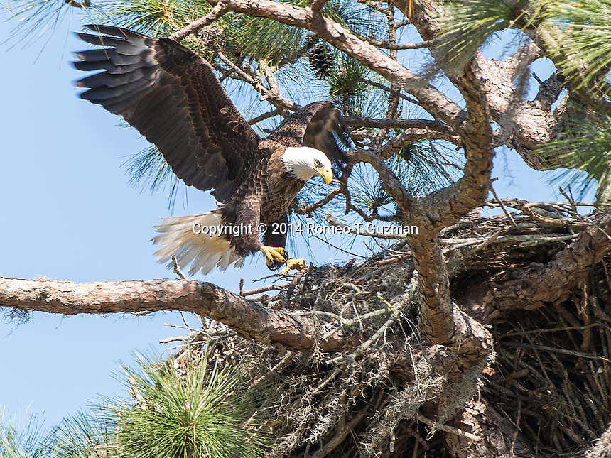 February 20, 2014: Bald eagle (Haliaeetus leucocephalus) nest corner of Plant Street and E Crown Point Rd Ocoee, FL