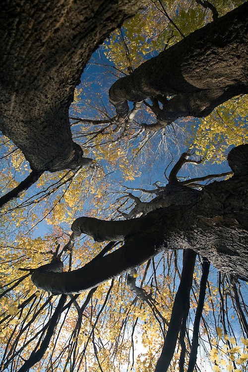 Big maple tree from a low angle view in the fall, Connecticut, USA.