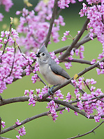 Tufted Titmouse, in Red Bud tree, New Jersey