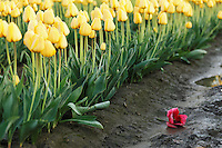 A single red tulip fallen amongst a row of yellow tulips, Mount Vernon, Skagit Valley, Skagit County, Washington, USA