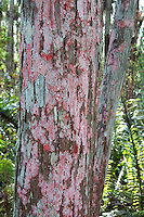 BATON ROUGH (RED) LICHEN<br /> Loxahatchee National Wildlife Refuge Florida<br /> Red color is caused by acid content. Lichens are made up of two symbiotic organisms, algae and fungus. The fungus collects water and provides the basic structure while the algae makes food via photosynthesis. (Everglades)