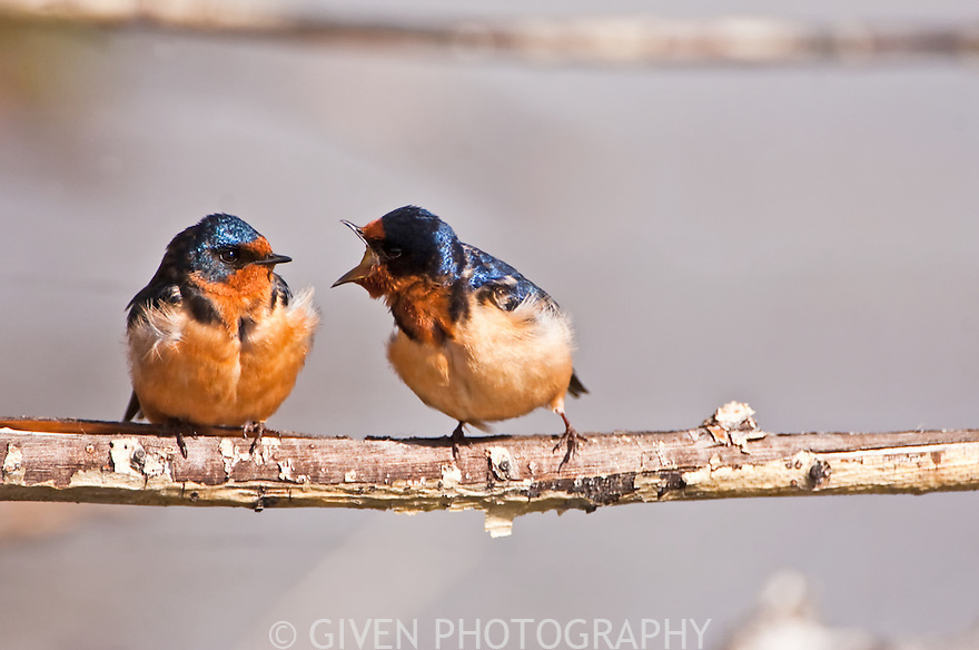 Barn Swallows, Oregon