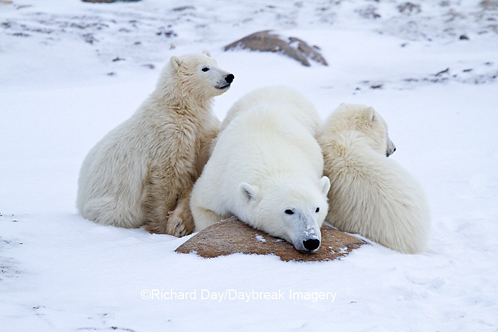 01874-12710 Polar bears (Ursus maritimus)  mother and 2 cubs  in winter, Churchill Wildlife Management Area, Churchill, MB Canada
