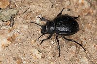Feistkäfer, Schwarzkäfer, Pimelia spec., Pimelia cf. payraudi, darkling beetle, Pimeliariae, Schwarzkäfer, Dunkelkäfer, Tenebrionidae, darkling beetles, flour beetles, mealworm beetles