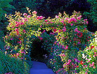 Pink roses on arbor. Butchart Gardens, Victoria, British columbia, Canada