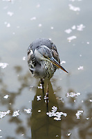 A grey heron ((Ardea cinerea) in the gardens of the Heian Shrine (Heian Jingu), Kyoto, Japan