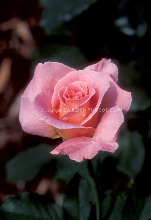 Pink roses Tiffany, bred in 1952, popular hybrid tea rose