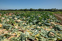 Cauliflower crop loss due to high rainfall and floooding - Lincolnshire, June