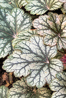 Heuchera Rave On foliage