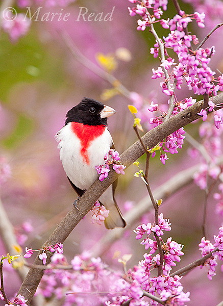 Rose-breasted Grosbeak, (Pheucticus ludovicianus), male perched in flowering eastern redbud in spring, New York, USA