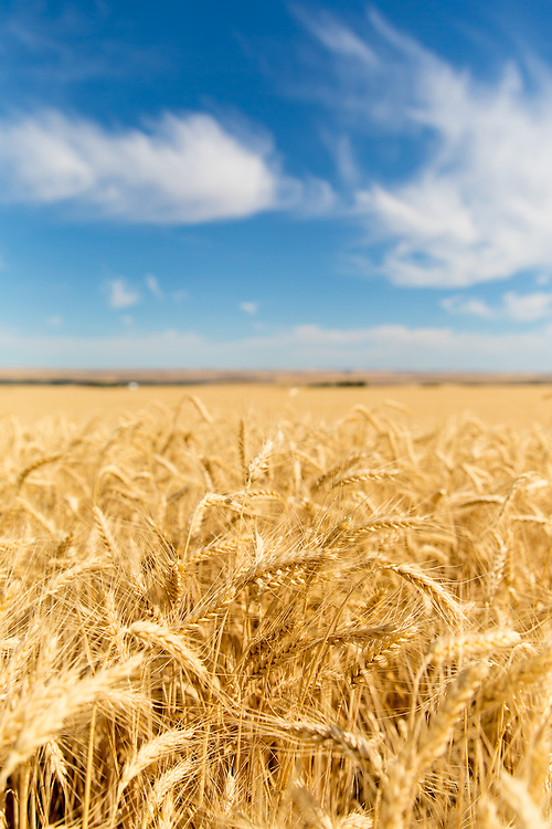 Fields of Wheat at the entrance to Crow's Shadow outside of Pendleton, Oregon