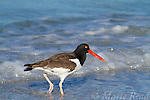 American Oystercatcher (Haematopus palliatus), walking through surf at shoreline, Fort DeSoto Park, Florida, USA