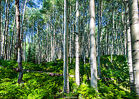ASPENS & FERNS- KEBLER PASS- CRESTED BUTTE, COLORADO