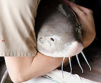 Sturgeon tagging and study by US Federal Fish and Wildlife Services, Department of the Interior at Purdy Fisheries.